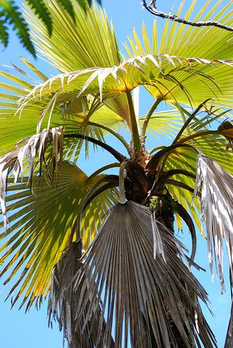 Pritchardia minor is an adorable small palm tree, with a trunk around 3in to 4in diameter that reaches 20ft over many decades in habitat.