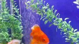 Fancy and Butterfly Goldfish saying hi and enjoying Tunes - Boheme fit - YouTube
