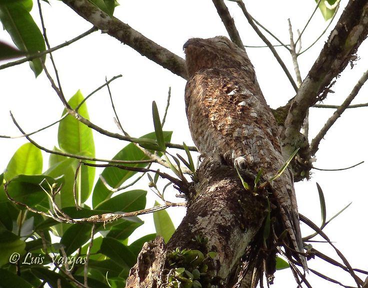 https://flic.kr/p/dQtJev | Nyctibius grandis | Great Potoo, Nictibio Grande, Leona, Bruja, Los Criques, San Ramón, Alajuela, Costa Rica, enero 2013.