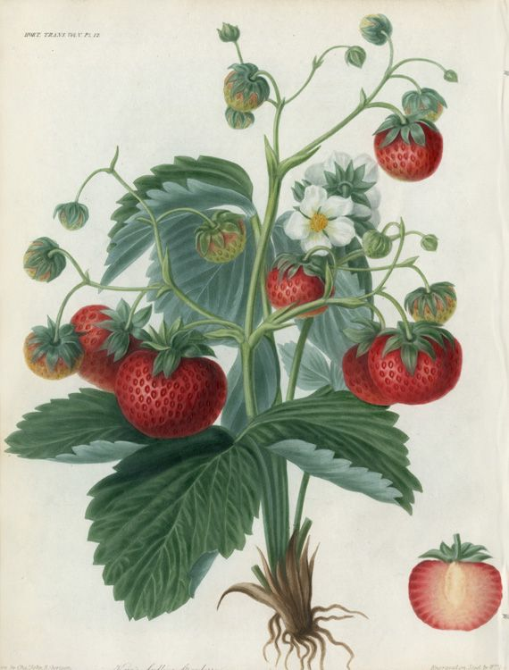 248 best images about botanical prints on pinterest