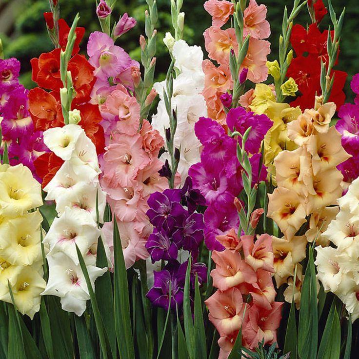 Gladiolus mix - Viherpeukalot