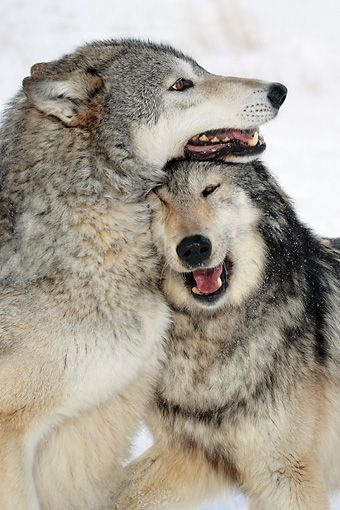 Close-Up Of Gray Wolves Playing In Snow by Klein-Hubert