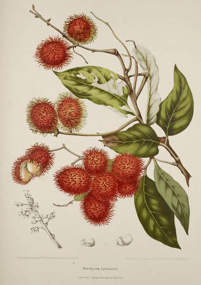 Rambutan Botanical Illustration Berthe Hoola Van Nooten 1880