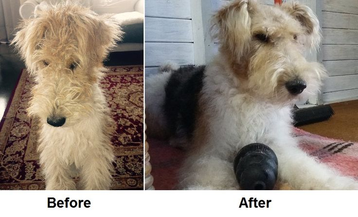 This Wire Haired Terrier puppy came to The Doggy Haven for his first visit ever to a salon for grooming.  We first introduced him to the sounds and smells of the salon.  Then we introduced him to grooming equipment and the sounds they make.  On his next visit I hand stripped and groomed him.  I am confident that this puppy will be happy to return to the salon.