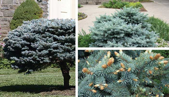 This little beauty is like a shining sapphire in gardens of hardy green dwarf shrubs! The Globe Blue Spruce shrub is dwarf, flat-topped and densely branched. Bright blue needles hold their color all year but are brighter in summer. Use it as a single accent in Asian schemes or for contrast in gardens heavy in cool colors. Adds brightness to dark parts of the yard and makes a nice low hedge against an emerald lawn. Excellent overall as a simple specimen. Use this plant as a stunning accent…