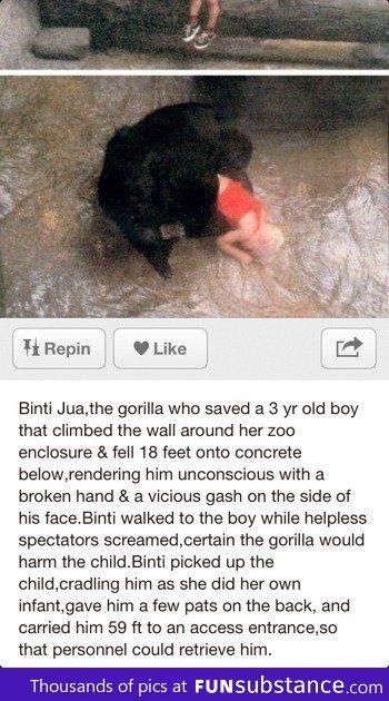 Faith in gorillas restored