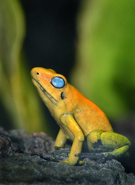 A Black Legged Poison Frog has finally been located in the San Diego Zoo's Reptile Walk.