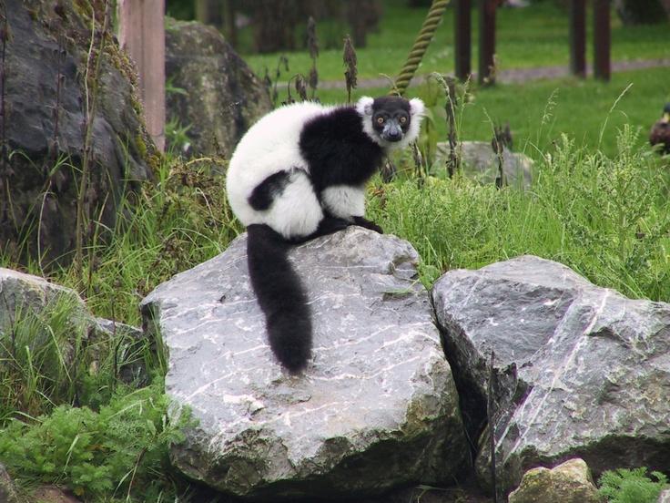 A Black and White Ruffed Lemur at Fota Wildlife Park