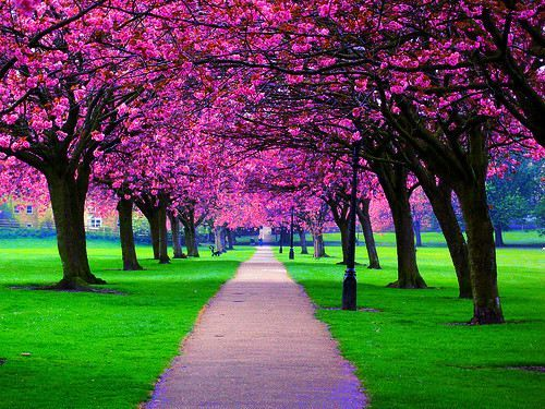 path.: Favorite Places, Cherry Trees, Beautiful, Blossom Trees, Cherries, Cherry Blossom Tree, Cherry Blossoms