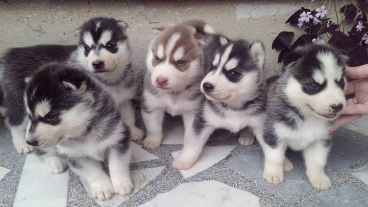 Siberian Husky puppies for sale price