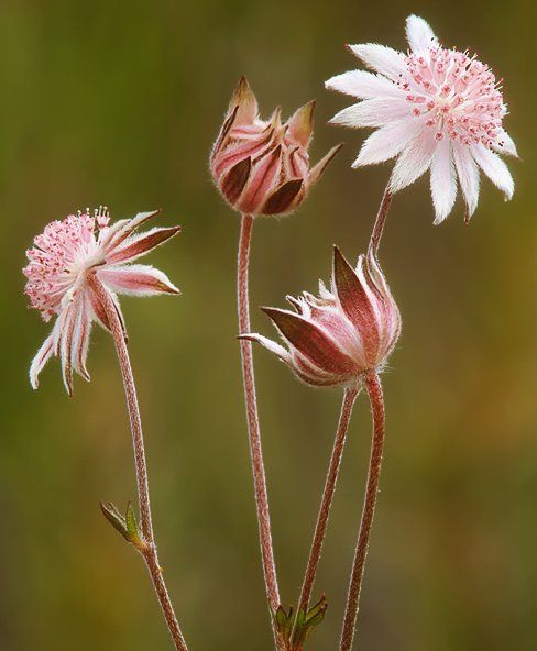 pink flannel flower - gratefulness, gratitude, open hearted