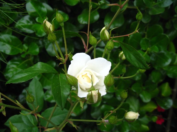 Rosa blanca #flor #flower Antejardín en Viña del Mar, Chile.