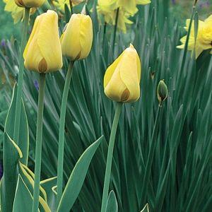 Tulipán (<span>Tulipa sp.</span>)