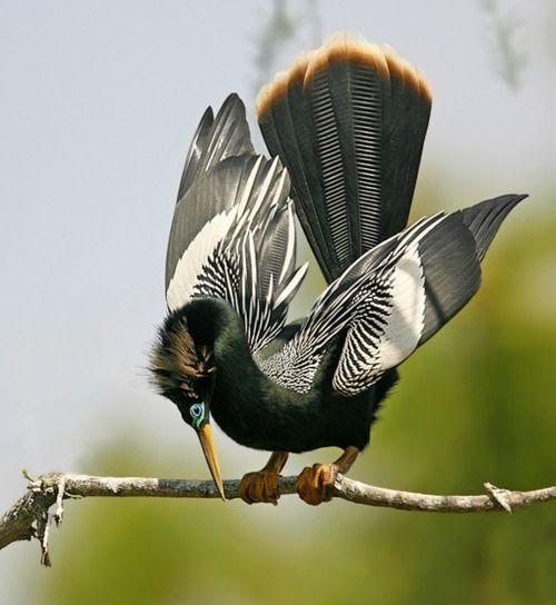 I like animals — prettybirds: Male Anhinga ByJim Neiger