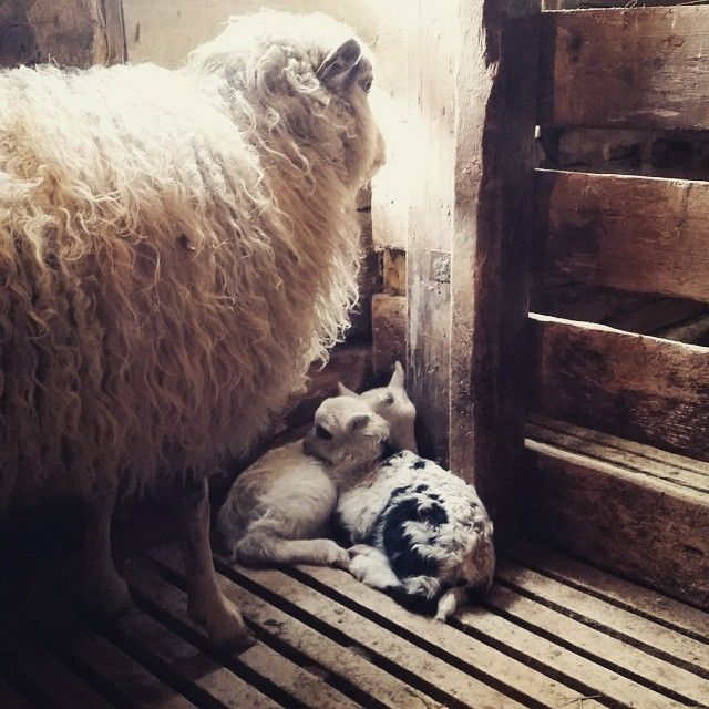 Proud mama watches over her babies. First newborn babysheeps on this farm in almost 20 years.  #sheeps #newborn #lamb #villsau