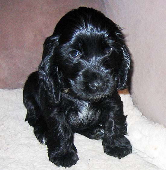 Cockerspaniel - looks just like our Muffy when we first picked her up.  We miss you girl, may you rest in peace. :)