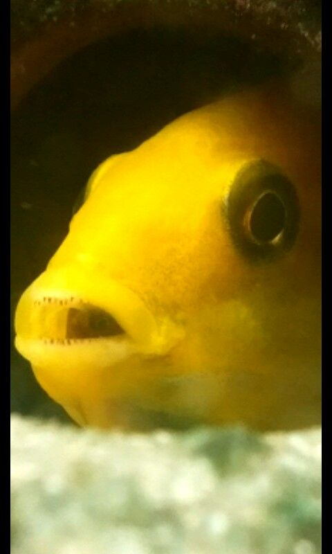 Wauw echt heel bijzonder hoe mijn mannetjes cichlide zijn baby's in zijn mond heeft #oogje #baby #cichlids
