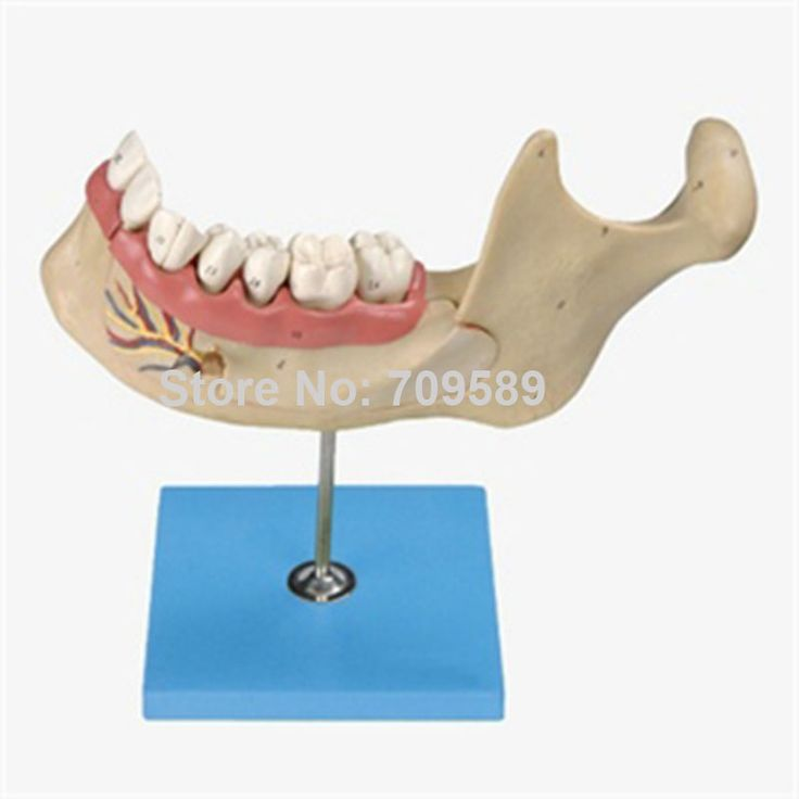 Lower Jaw of 18-year-old,  Dentition Model, Teeth Model #Affiliate
