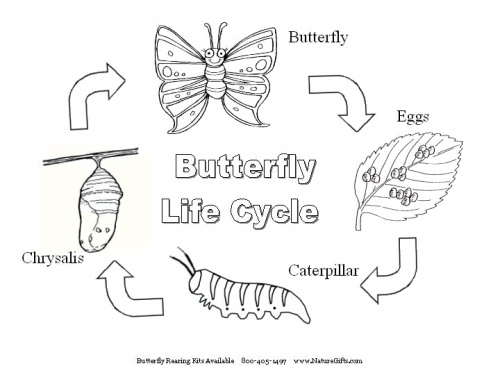 This is an image of Impertinent Butterfly Life Cycle Printable