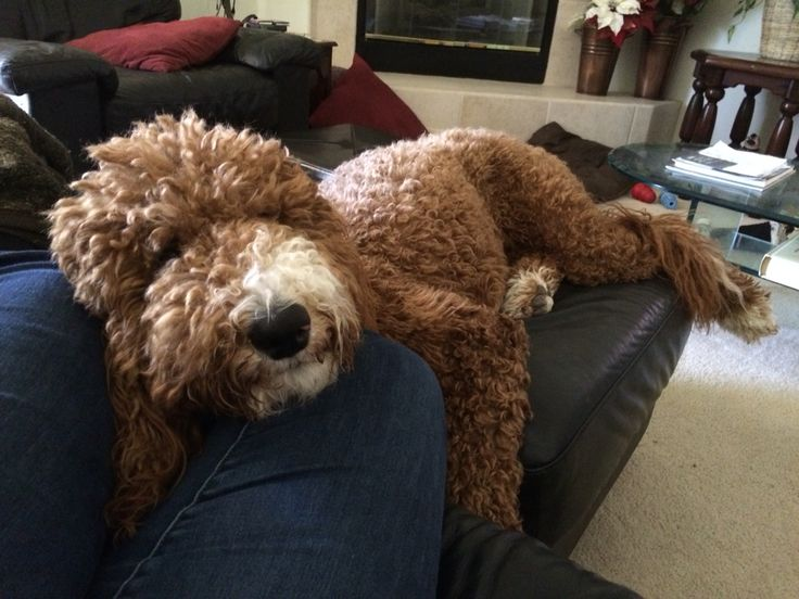 41 Best Images About Goldendoodle F1b On Pinterest F1b