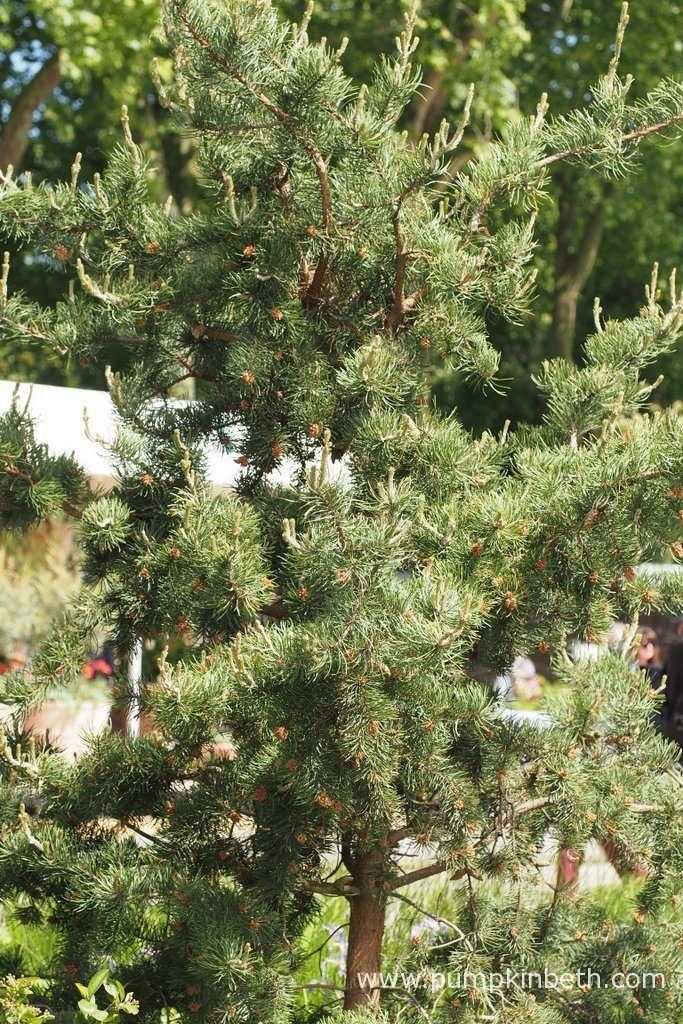 A Jack pine, also known by its botanical name of Pinus banksiana, pictured on the Royal Bank of Canada Garden at the RHS Chelsea Flower Show 2017.