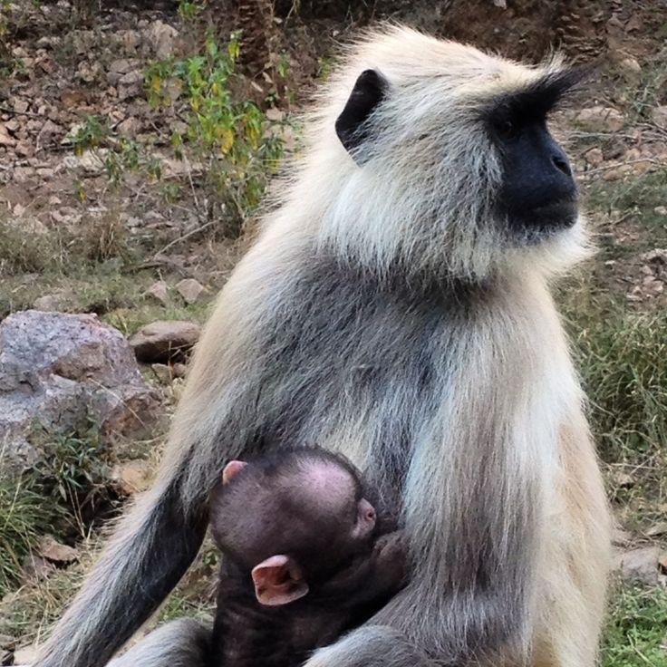 Ranthambore National Park. india