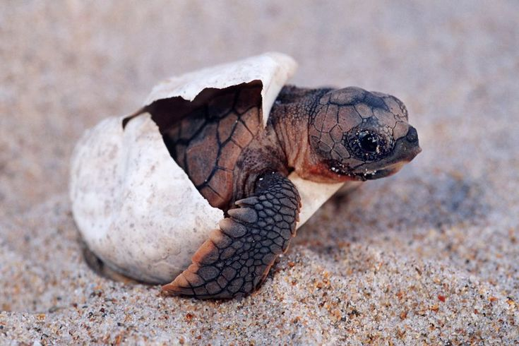 baby loggerhead turtles hatching | Illegal Baby Turtles for Sale in US