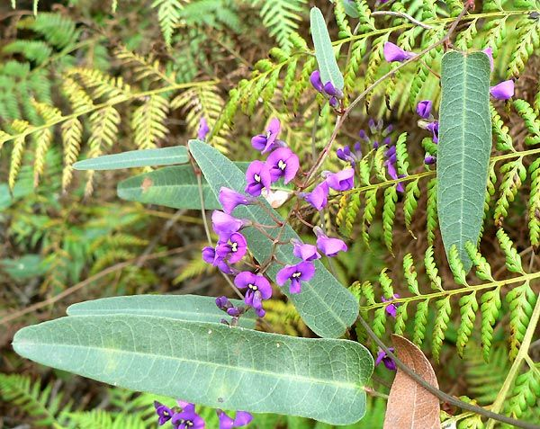 False sarsaparilla: One of the only plants found in the Wolli Creek Valley that does not induce hay fever. Common in Australia, once used as medicine by early European settlers as a substitute for sarsaparilla