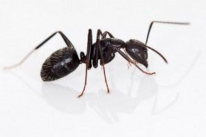 Black carpenter ants are closely related to fire ants along with ginger ants, red ants, and weaver ants.