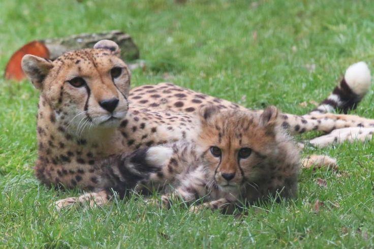 Le  guépard Kali, Jump le petit wallaby et les trois bébés manchots font leurs premères apparitions publiques au zoo de Champrépus.