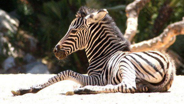 The new zebra of the Zoo in Barcelona