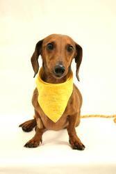 Pretzel is an adoptable Dachshund Dog in Tulsa, OK.
