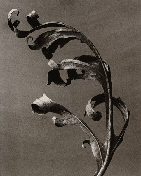 karl blossfeldt fine art photography.