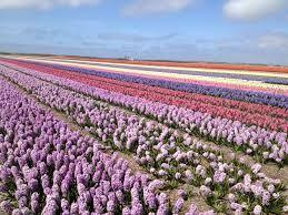 bloembollenvelden in nederland - Google zoeken