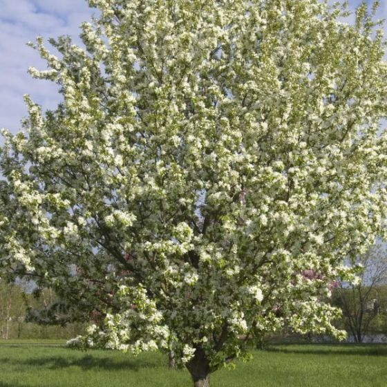 Spring Snow Crabapple Overview