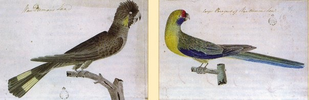 Black-fronted Parakeet(Cyanoramphus zealandicus) William Bligh