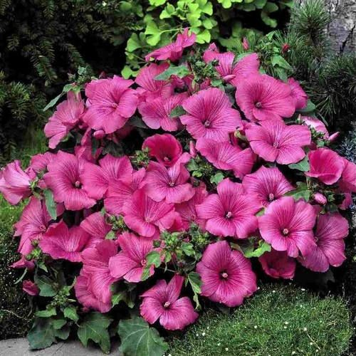 how to grow rose mallow from seed
