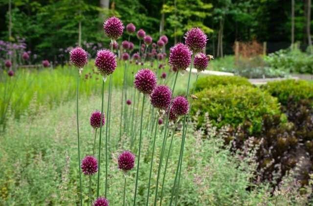 17 Best ideas about Allium Flowers on Pinterest Purple