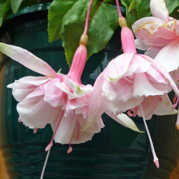 Pink Marshmallow Fuchsia Plants For Sale Free Shipping In 2020 Fuchsia Plant Pink Marshmallows Fuchsia Garden