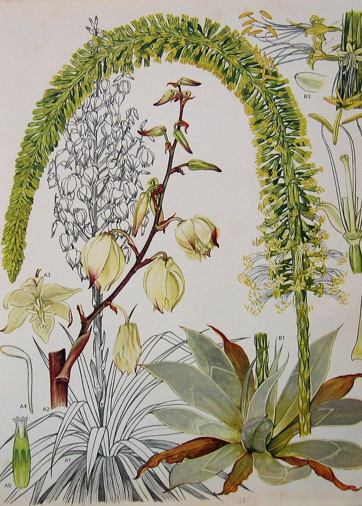Vintage Botanical Print 168 | Flickr - Photo Sharing!