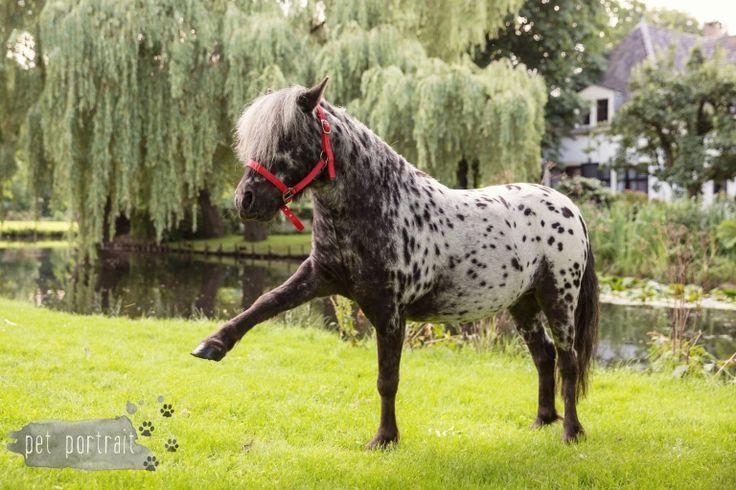Paardenfotograaf - Fotoshoot voor een Fries paard en een Shetlandpony-1