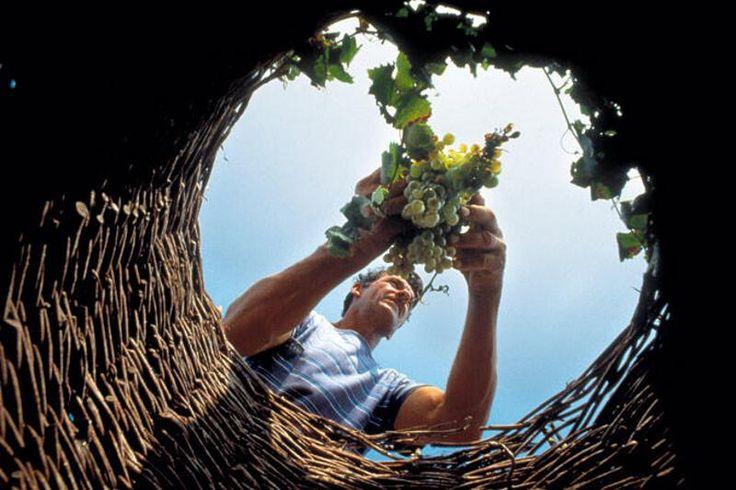 Harvesting grapes #wintasting in #Santorini
