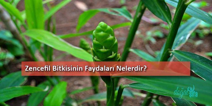 Doğal şifalı bitkiler arasında olan zencefil bitkisi, 1-2 metre boyunda çok yıllık bitkidir. Ülkemizde yetişmez. Ülkemizde yetişmez. Boru gövdesini anımsatan bir duruşa sahiptir. Mideyi yatıştırır.  Bedeni ısıtır.