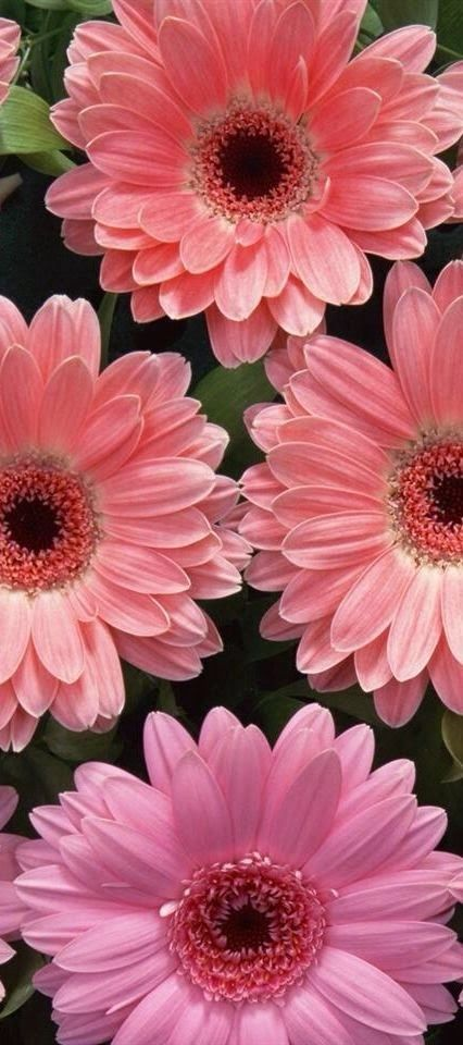 Gerber Daisies | Outdoor Areas