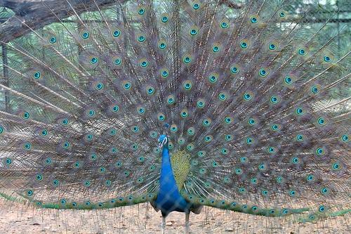 Peacock at Mysore Zoo