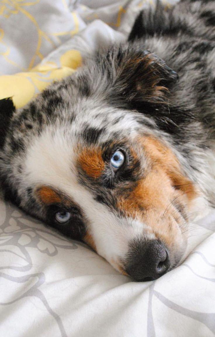 20 best ideas about aussie dogs on pinterest aussie shepherd aussie puppies and mini aussie. Black Bedroom Furniture Sets. Home Design Ideas