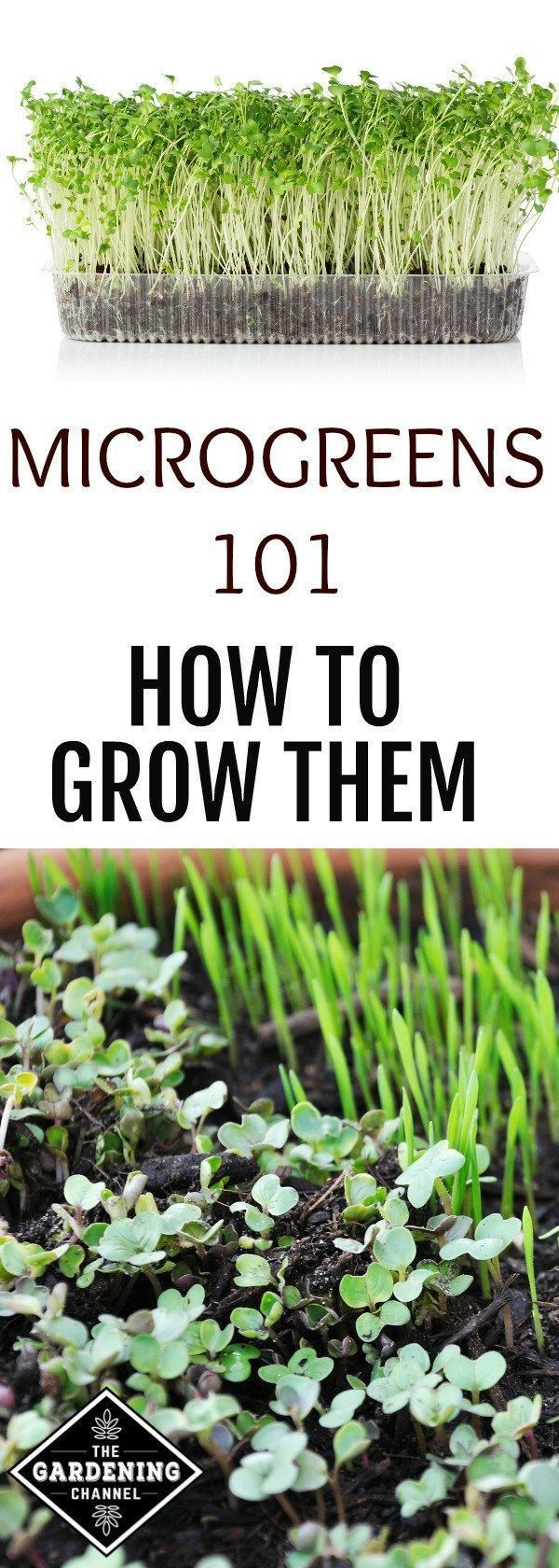Complete guide to growing microgreens. These are so easy to grow inside and they are packed with nutrients. #hydroponicgardeningideas