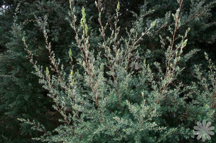 Wooly tea tree. Leptospermum lanigerum. Evergreen. If needed to fill out container, use 'silver form' which is narrower, smaller shrub. Similar texture to conifer, but has flowers! (Thicket)