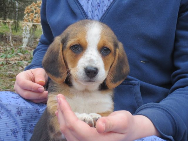 Beagle Mix Puppy For Sale In Pine Grove Pa Adn 71663 On