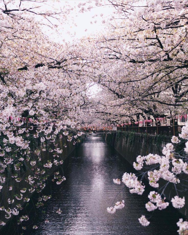 Cherry blossom viewing in Meguro-ku, Tokyo, Japan